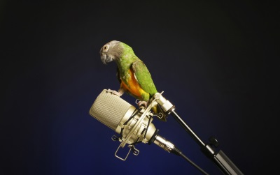 parakeet on microphone